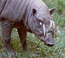 The babirusa hog